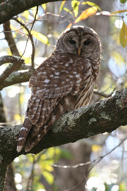 barred-owl-1522593_640