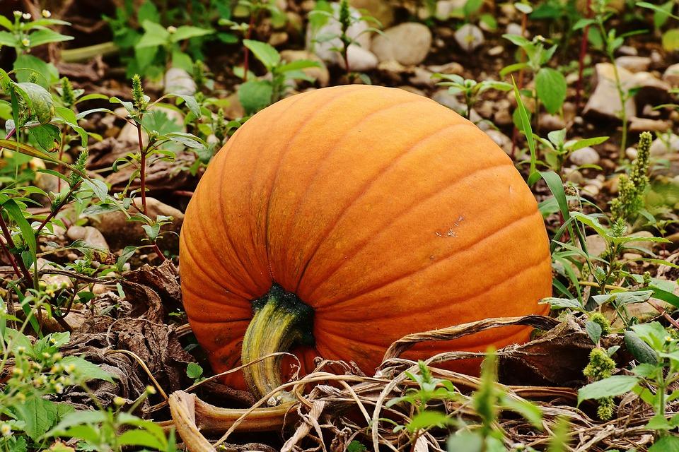 pumpkins-1642329_960_720